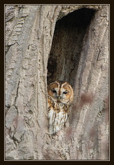Tawny Owl (image 2 of 3) (Full Moon Images) Tags: tree bird nature project oak wildlife great bcn reserve owl trust prey fen cambridgeshire birdofprey tawny holme greatfen