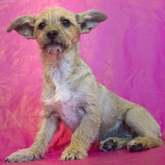 Shaggy the 16 week old Terrier Chihuahua mix (Immature Animals) Tags: pink arizona rescue dog baby animal puppy fur wire tucson coat small ears az canine marshall terrier derek bark doggy shaggy rough sahuarita pup paws wiry koalition pacc barktucson