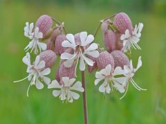 White Campion Flowers - Silene latifolia (midimatt) Tags: wisconsin wi newburg whiteflowers whitecampion silenelatifolia saukville ozaukee riveredgenaturecenter whitecockle mattdrollinger matthewdrollinger