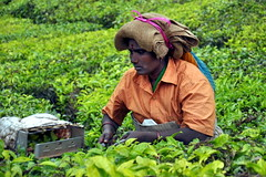 India - Kerala - Munnar - Tea Harvesting - 147 (asienman) Tags: india mountains kerala hills teafactory teaplantation munnar teapicker asienmanphotography teaplantagens