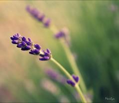 Ma petite Provence-Explore (Bouteillerie) Tags: flower macro floral fleur fleurs canon garden square jardin bleu lavander été lavande botanique horticulture juillet éclosion végétal languageofflowers languageofflower carréfrançais bouteillerie
