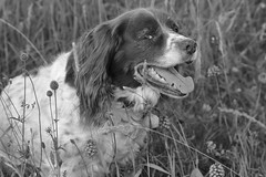 Phoebe among the orchids (heathernewman) Tags: portrait blackandwhite dog pet nature monochrome animal orchids canine spaniel springer springerspaniel