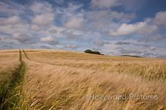 DSC_6107 (Fran Hollywood Autosportpics.com) Tags: ireland summer sky field barley clouds rural landscape countryside farming cereal harvest crop wexford sunnysoutheast leinster arable curracloe