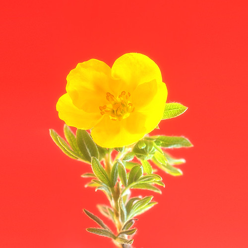 """little yellow in red • <a style=""""font-size:0.8em;"""" href=""""http://www.flickr.com/photos/22289452@N07/20287723056/"""" target=""""_blank"""">View on Flickr</a>"""