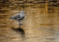 On Golden Ice (MrBlueSky*) Tags: seagull bird waterfoul animal ice frozen wildlife nature kewgardens kingdomanimalia london outdoor ngc aficionados pentax pentaxart pentaxk1 pentaxlife pentaxawards colour