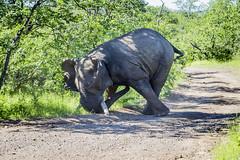 Outpost Ellie (Sheldrickfalls) Tags: elephant elephantbull musth tusks tusker olifant theoutpost outpost makuleke makulekeconcession pafuri krugernationalpark kruger krugerpark h19