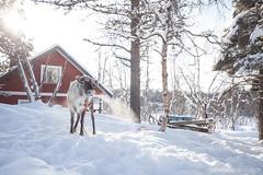 IMG_2755 (F@bione©) Tags: lapponia lapland marzo 2017 husky aurora boreale northenlight circolo polare artico rovagnemi finalndia finland
