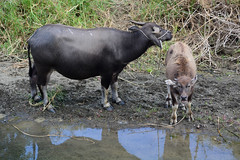 Water Buffalo and Calf 3 (Bob Hawley) Tags: manzhoutownship pingtung asia taiwan nikond7100 nikon2870mmf3545afd outdoors animals waterbuffaloes bubalusbubalis domesticanimals young juvenile calf water