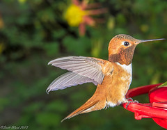 _MG_9648-2.jpg (sward99) Tags: bird washington hummingbird suburban wing feeder freeze delicate bothell hover rufous selasphorusrufus gorget canont3i