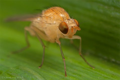 Drosophillidae spec. (Glenn van Windt) Tags: macro nature natuur flies vlieg mpe65 mt24ex drosophilidae