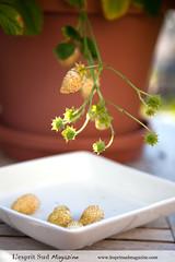 Alpine Strawberries {Fraises des Bois} (Scrumptious Venus) Tags: gardening alpinestrawberries fraisesdesbois cultivar pineapplecrush lespritsudmagazine wwwlespritsudmagazinecom fragariavescasempervirens