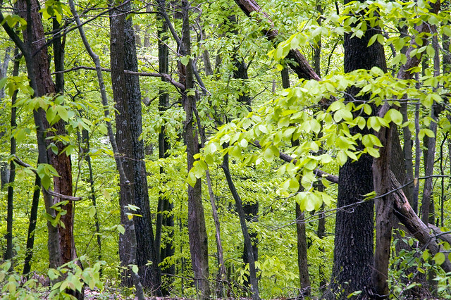 Hoosier National Forest - Waldrip Ridge - May 2009