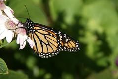 Monarch Butterfly (Neal D) Tags: butterfly monarch madeira funchal municipalgardens