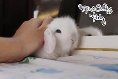 IMG_0528 (babybunnysp) Tags: brazil pet pets cute rabbit bunny bunnies brasil canon babies fuzzy picture ear t3i
