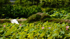 Cattle Egret (ddsnet) Tags: birds sony taiwan  taoyuan  cattleegret  nex     mirrorless   newemountexperience nex7
