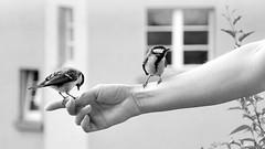 J. of Assisi (pat.netwalk) Tags: blackandwhite birds animals chickadee assisi copyrightbypatwwwnetwalkch
