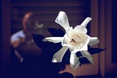 Gardenia (Brent Betz) Tags: flowers light summer white reflection self petals spring shadows blossoms blooms gardenia