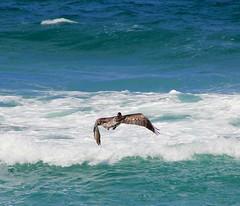 Pelican (LarryJay99 ) Tags: ocean blue color bird water birds surf waves tide pelican atlanticocean saltwater canonefs18135mmf3556is ilobsterit