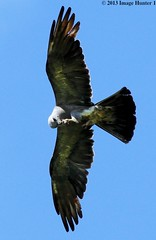 Mississippi Kite Eating On The Fly - Bayou Courtableau, Louisiana (Image Hunter 1) Tags: birds flying wings louisiana feeding dragonfly eating flight wingspan wingspread avianexcellence canoneos7d bayoucourtableau explorenaturethewildnature