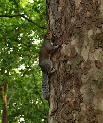 Squirrel (clarabueno) Tags: naturaleza tree scale nature animal animals climb squirrel londres rbol hydepark ardilla trepar