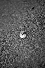 Fallen butterfly (ganuu) Tags: summer bw butterfly suomi finland dof depthoffield fallen shallow asphalt kes 2013 pirkanmaa
