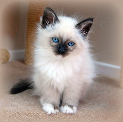 Birman Kitten (Jaynie25) Tags: old rescue pet cats pets cute me animals cat ball kitten play centre young kitty fluffy 8 whiskers domestic breed playtime weeks angela anima youngster pedigree birman welfare birmans