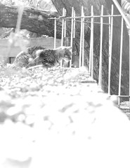 Pina (Chau DOG) Tags: dog cats pets argentina animal digital cat photography gris photo reflex eyes nikon kat chat foto arte photos gatos ojos gato fotos mao fotografia nikkor cath macska mirada gatto  kot gat kass kaz katt kato felis kissa chau kttur kucing  d90  katu  hauskatze feles gatu catto 2013  kau  jakuma huuschatze  kazh  smkettir nikond90 ghjattu piik gt qattus    niausiok chaudog copyright2013dariogiordanotodoslosderechosreservados