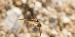 Expo - Libelinha - Dragonfly 3 (MetalDream) Tags: 2 canon is expo dragonfly 7d usm ef libelinha f4l 24105mm