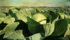 nature hates calculators... (Adrinne -for a better and peaceful world-) Tags: field cabbage kool noordholland broekoplangedijk panasonictz5 addyvanrooij adrinne greenbeautyforlife