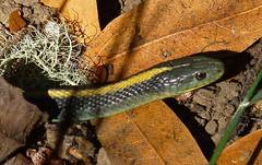 Head Shot (Rachel Perrie) Tags: reptile snake bayarea peninsula gartersnake californa windyhill windyhillopenspacepreserve tz30 zs20