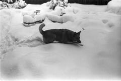 022569 07 (ndpa / s. lundeen, archivist) Tags: winter blackandwhite bw dog pet snow storm 1969 film monochrome boston 35mm ma blackwhite backyard massachusetts nick snowstorm 1960s february addy snowfall blizzard beaconhill addie winterstorm playinginthesnow dewolf heavysnow mtvernonsquare bigsnow coveredinsnow recordsnowfall recordsnow nickdewolf photographbynickdewolf 3mtvernonsquare