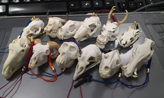 (capcomkai) Tags: dog rabbit mouse pig cow sheep tiger    draco      pantheratigris canis    rattusnorvegicus equuscaballus ovisaries  bostaurus susscrofa  macacafuscata elapheclimacophora gallusgallusdomesticus canislupusfamiliaris  climacophora  dracosp  capsuleq           lepusbrachyurus