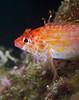 hawkfish2865 (gerb) Tags: orange fish macro eye topv111 topv555 topv333 underwater scuba fin lapaz seaofcortez tvp hawkfish 105mmf28micro d7000