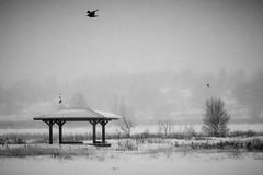 Moncton, rivire Petitcodiac (jmmuggianu) Tags: bw snow bird birds river noiretblanc rivire neige oiseau oiseaux petitcodiac