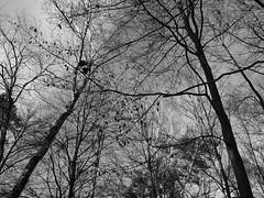 Birches having a stretch (25/8) Tags: olympus birch pancake ep2