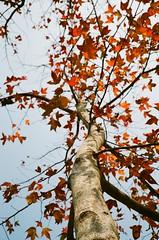~ Maple Season ~ (ct_charles) Tags: hk film polaroid hongkong contax filmcamera t3 contaxt3 landcamera filmisnotdead polaroid450