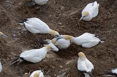 Not in my backyard!_DSC9291 (Travel4Two) Tags: auckland nieuwzeeland muriwai c0 s0 5000k adl0