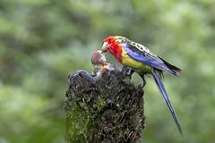 Eastern Rosella_5953 (Janice McKenna   eyemac23   photography) Tags: newzealand bird canon wildlife parrot wellington karorisanctuary aotearoa easternrosella platycercuseximius zealandia psittacidae february2014