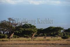 10070799 (wolfgangkaehler) Tags: africa landscape scenery kenya african wildlife scenic giraffe amboseli kenyan eastafrica eastafrican giraffacamelopardalistippelskirchi masaigiraffe amboselinationalpark amboselikenya amboselinatlparkkenya
