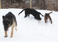 The chase is on (Hodgey) Tags: snow dogs lab eva maine josh brindle ralph gsd boxerx germanshepherdwinter