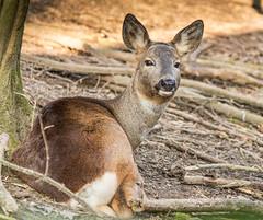 IMG_1419 (Lorenzo Callerio) Tags: winter animal canon evening is italia natural little deer ii di sant marzo efs con pavia alessio 2014 oasi roa capriolo 55250 vialone lardirago
