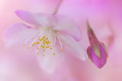 SWEET SPRINGTIME (ajpscs) Tags: pink flower japan japanese tokyo spring nikon blossom cherryblossom  sakura nippon   haru  d300   seasonchange  kawazuzakura  ajpscs earlyblooming springisblooming sweetspringtime tokyo japan vision:flower=0842