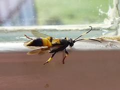 Ichneumon (Tiggrx) Tags: black yellow insect wasp ichneumon herefordshire hymenoptera ichneumonidae stanfordbishop