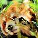Red Panda, Kinta of Nogeyama Zoo : 野毛山動物園 レッサーパンダのキンタ