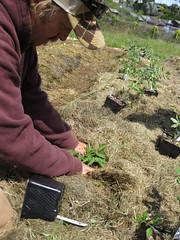 Planting tomatoes_4630293057_l