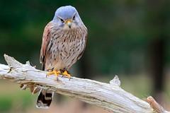 _F1_0266 (www.fozzyimages.co.uk) Tags: wildlife newforest birdsofprey rspb captivelightukcom