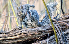 Got An Itch? (Wes Iversen) Tags: trees nature animals illinois squirrels thegrove wildlife glenview hcs nikkor18300mm clichsaturday