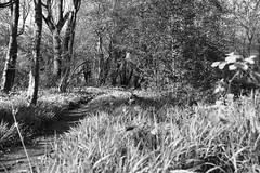 shadows in the woods (aims121) Tags: nottingham trees light black tree grass bluebells walking lights woods walks shadows path walk footpath walkies ploughman walkie lowdham lowdhamgrange