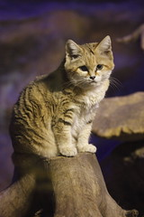 Sand Cat (Mark Eastment) Tags: house cute nature animals cat bristol zoo twilight sand feline nocturnal wildlife mammals