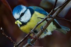 Pimpelmees (European Blue Tit) (robvanderwaal) Tags: bird nature netherlands birds nederland vogels natuur pimpelmees vogel 2014 europeanbluetit cyanistescaeruleus rvdwaal robvanderwaalphotographycom